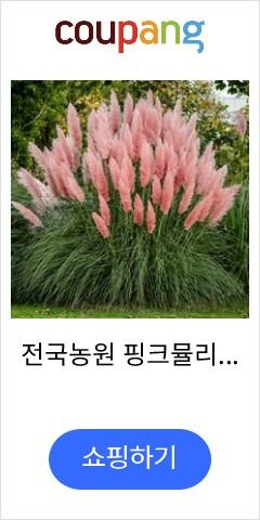 전국농원 핑크뮬리묘...