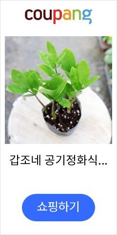 갑조네 공기정화식물...