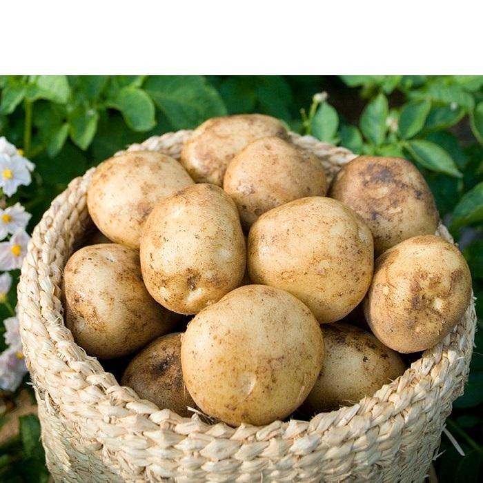 빛고을장터 20년 수확 포슬한 감자 10kg 5kg 3kg내외, 1box, 01.감자 (중) 3kg내외 통구이용