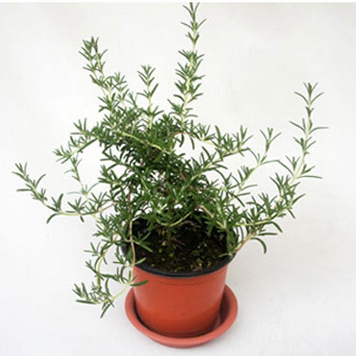 그린플랜트 생화 공기정화식물, 허브식물_클리핑로즈마리, 1개