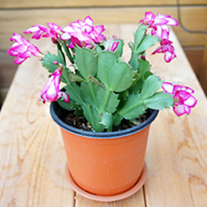 그린플랜트 생화 공기정화식물, 꽃있는식물__게발선인장, 1개