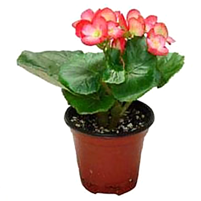 그린플랜트 생화 공기정화식물, 꽃있는식물__꽃베고니아, 1개