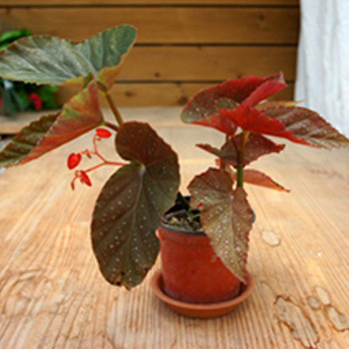 그린플랜트 생화 공기정화식물, 꽃있는식물__목베고니아, 1개