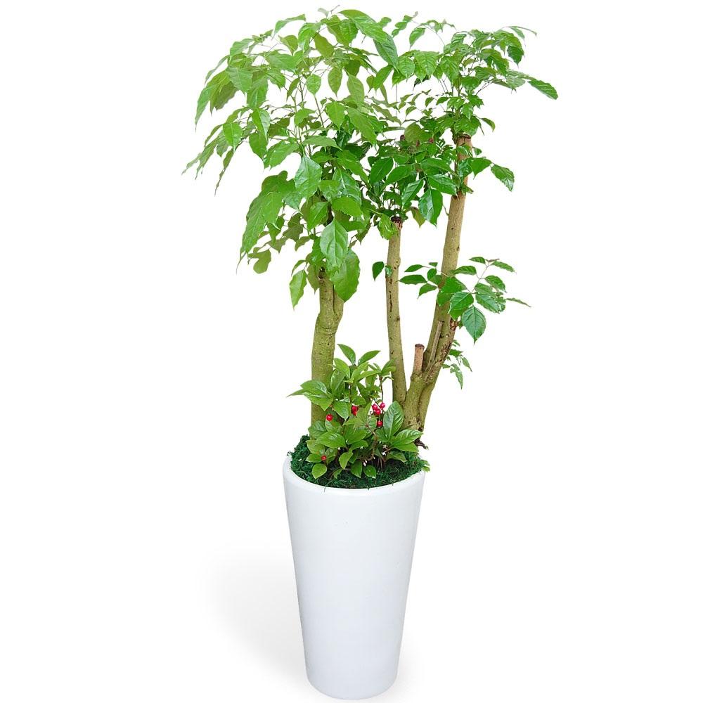 꽃뜨랑 녹보수 대박나무 공기정화식물 관엽식물, 1개