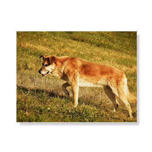 리틀하이커 Dog 캔버스액자A3W36 30