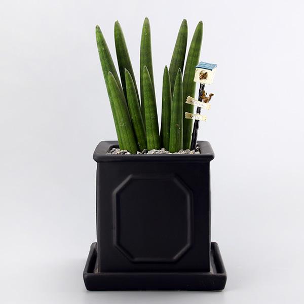 가꾸지오 생화 로마주 2단 스투키 다육식물 대, 블랙, 1개