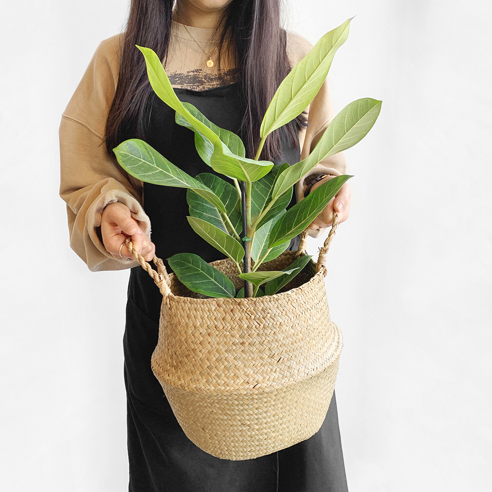프레시가든 뱅갈 고무나무 + 해초바구니 세트, 혼합색상