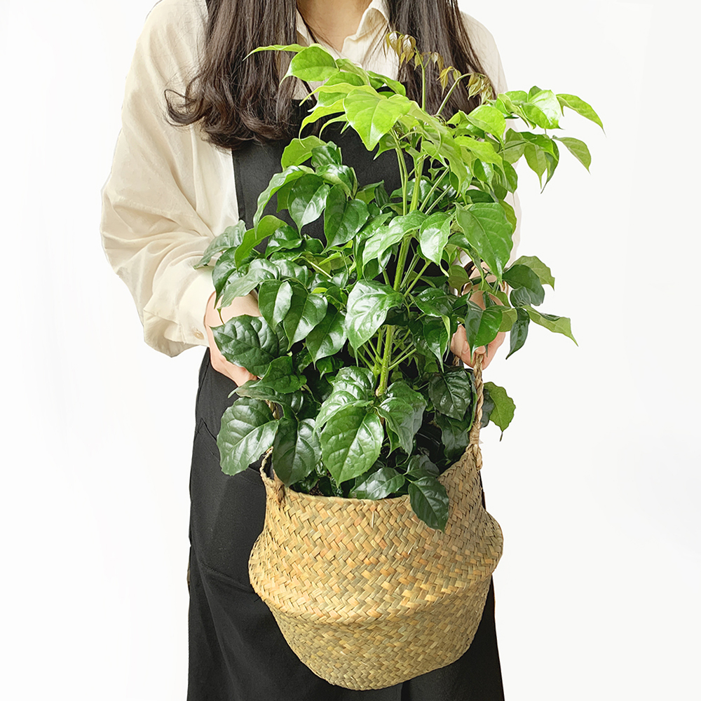 프레시가든 공기정화식물 녹보수 + 해초바구니 세트, 혼합색상, 1세트