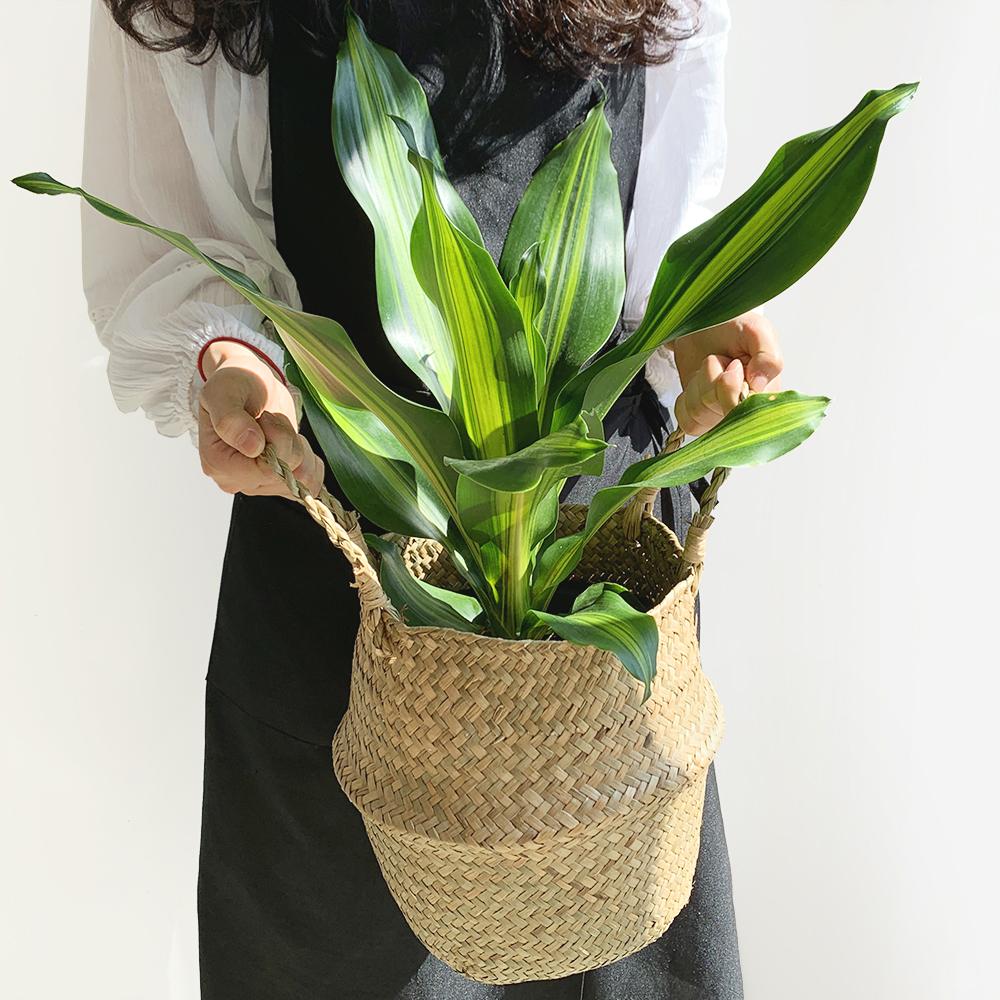 프레시가든 공기정화식물 맛상게아나 + 해초바구니 세트, 혼합색상, 1세트
