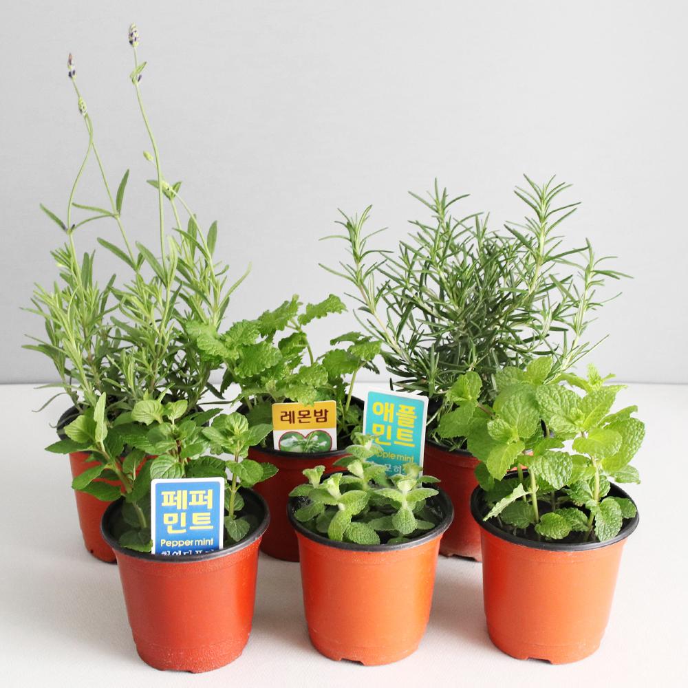 모리앤 생화 허브식물 소형 6종 세트, 혼합색상, 1세트
