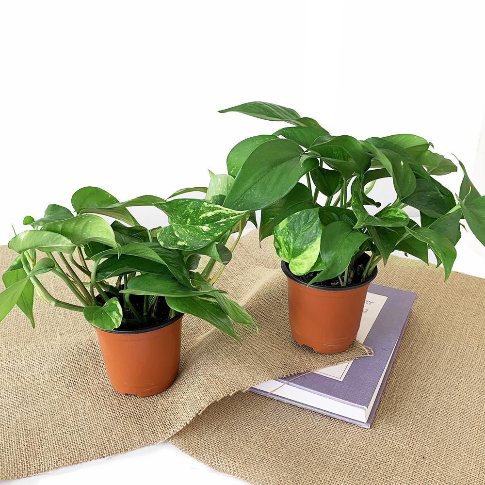 프레쉬가든 공기정화 식물 스킨답서스 2p, 혼합색상, 1세트