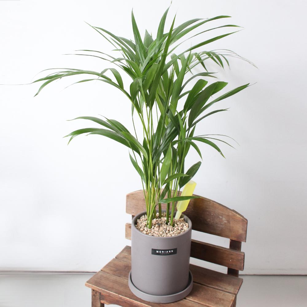 모리앤 공기정화식물 아레카야자 + 도자화분 세트, 혼합색상, 1세트