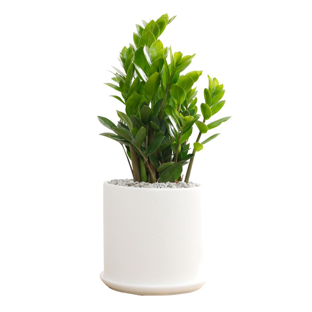 홈트너 실내공기정화식물 대, 1개, 2-2 금전수