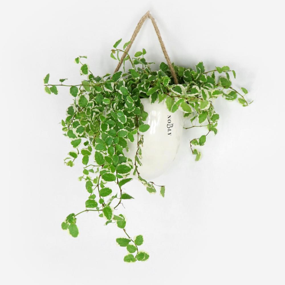 노블리 행잉 공기 정화 식물 푸미라, 1개