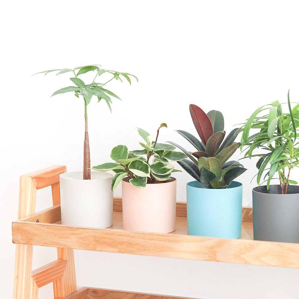 메이크정글 공기정화 수경식물 SIMPLY + 파키라 + 고무나무 + 호야 + 나한송 세트, 혼합색상, 1세트
