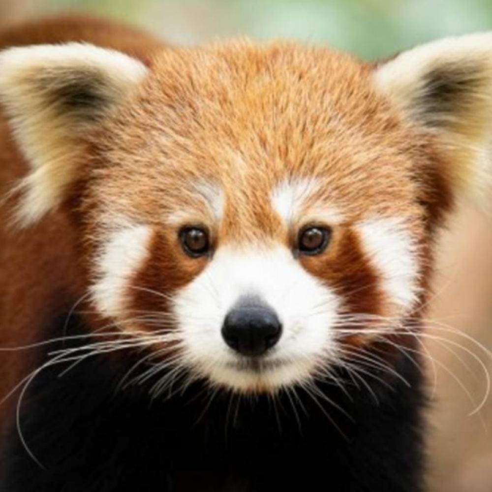 [호주] |골드코스트| 커럼빈 야생동물 공원 입장권 일반  + 코알라와 사진 촬영 (GAKP)
