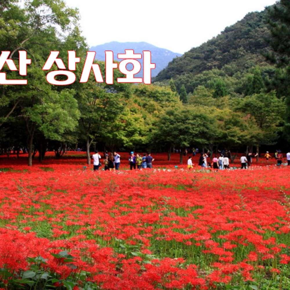 [전북영광] 영광 불갑산 상사화꽃축제/당일