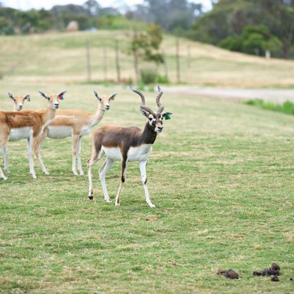 [멜버른] 웨리비 오픈 레인지 동물원 입장권