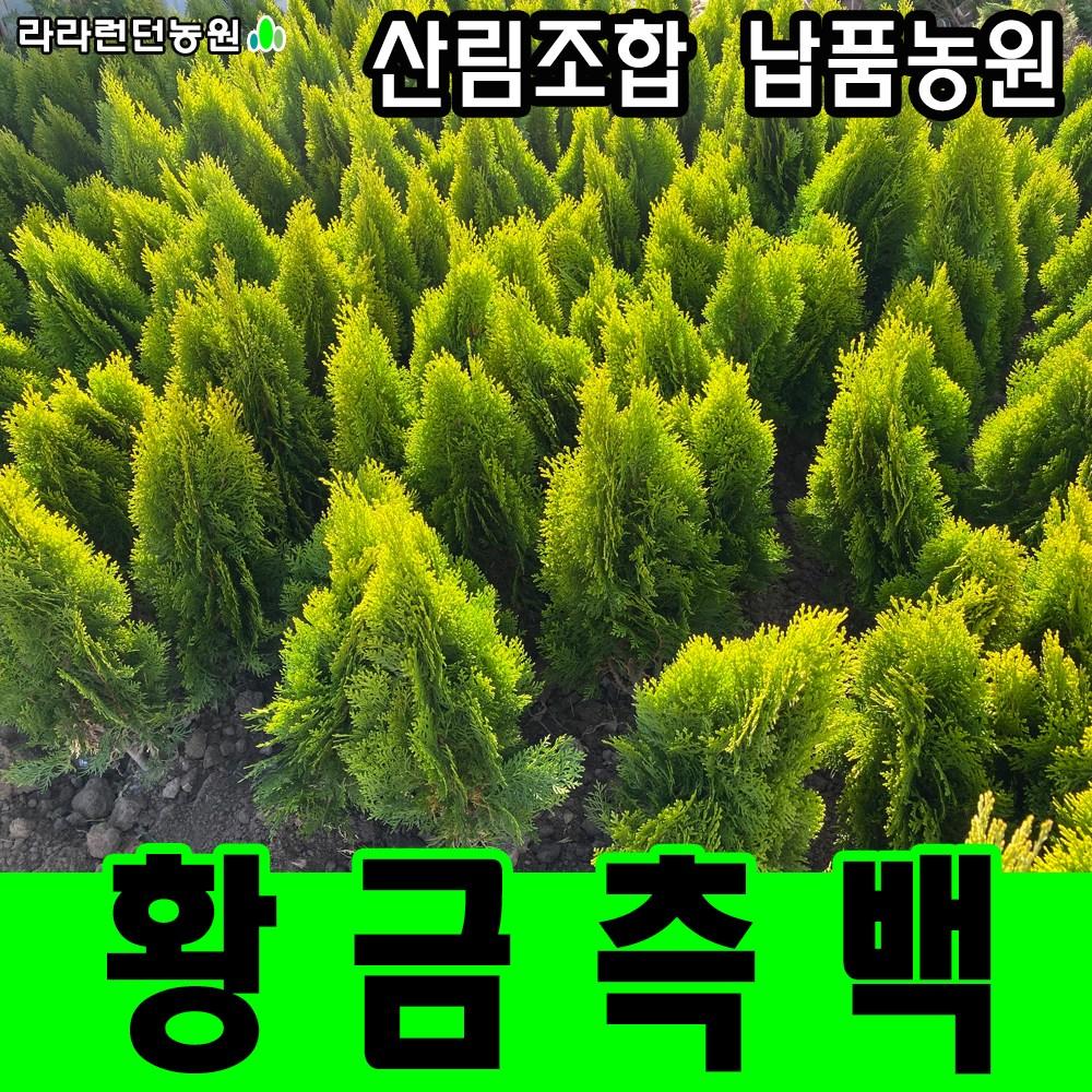 라라런던농원 황금측백나무 묘목 울타리나무 조경수 산소에심는나무