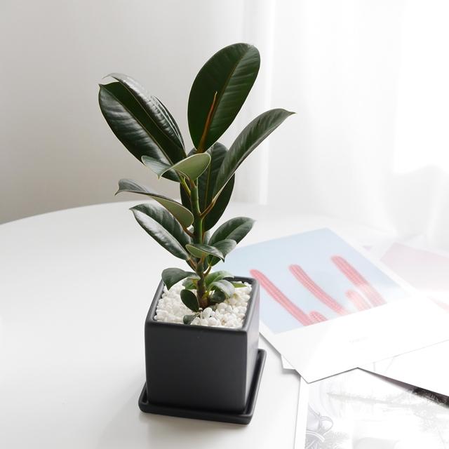 보거스플라워 인도고무나무 무광 미니화분 키우기 쉬운 실내공기정화식물, 1개, 인도고무나무+사각블랙