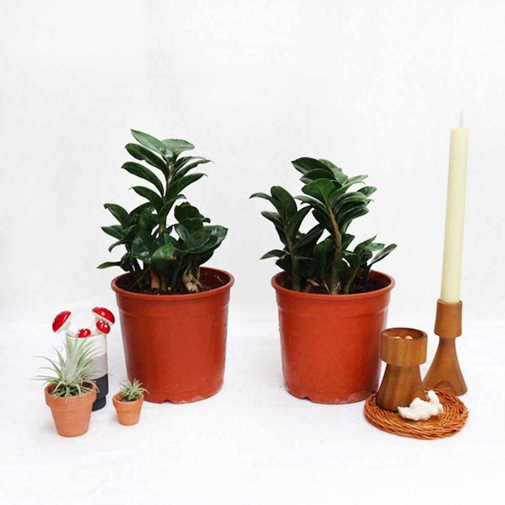 보석금전수미니식물 인테리어 실내공기정화