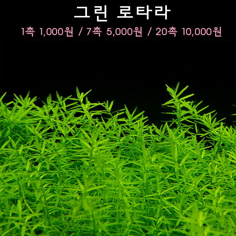 [수초아쿠아] 그린 로타라 초보수초 인기수초 구피 새우 은신처 어항수초 수초맛집 득템수초, 20촉