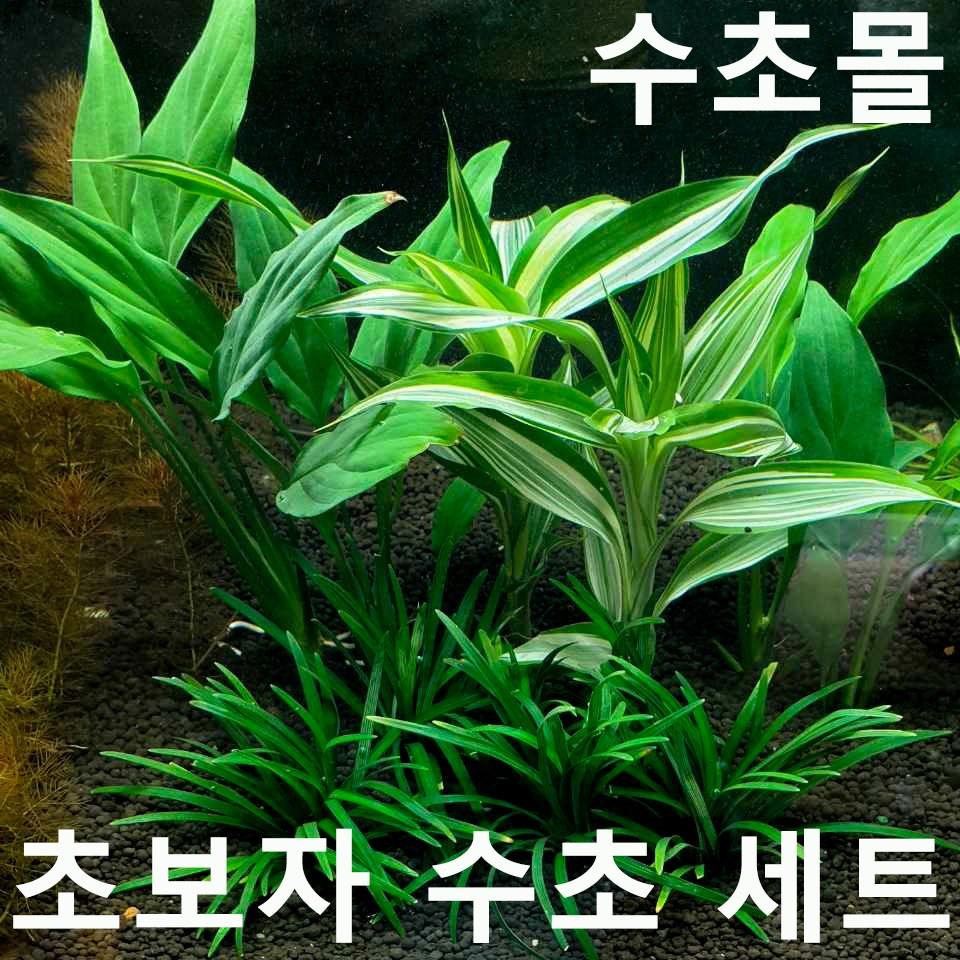 초보자 수초 세트 (애란4촉+산드리아2촉+스파트필름2촉) 초보자수초 자연수초