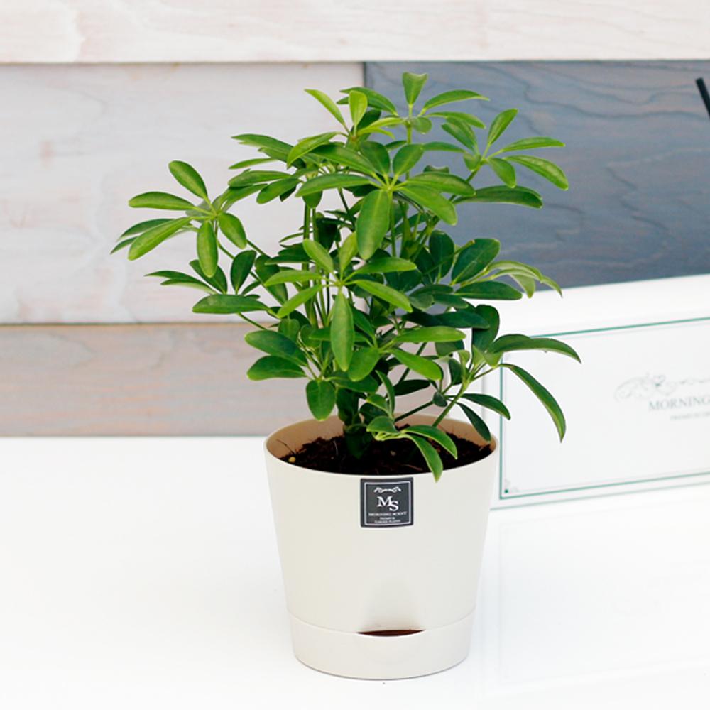 아침향기 공기정화식물 기능성 에코화분 아이보리, (에코화분/아이보리) 홍콩야자, 1개