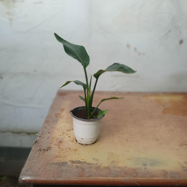 꽃백화점 극락조 여인초 중품 공기정화식물 인기식물 35~60cm 99