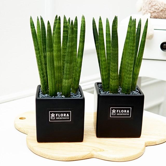 플로라 스투키 미세먼지 실내공기정화 다육식물 거실 인테리어 사각 화분, 블랙+블랙