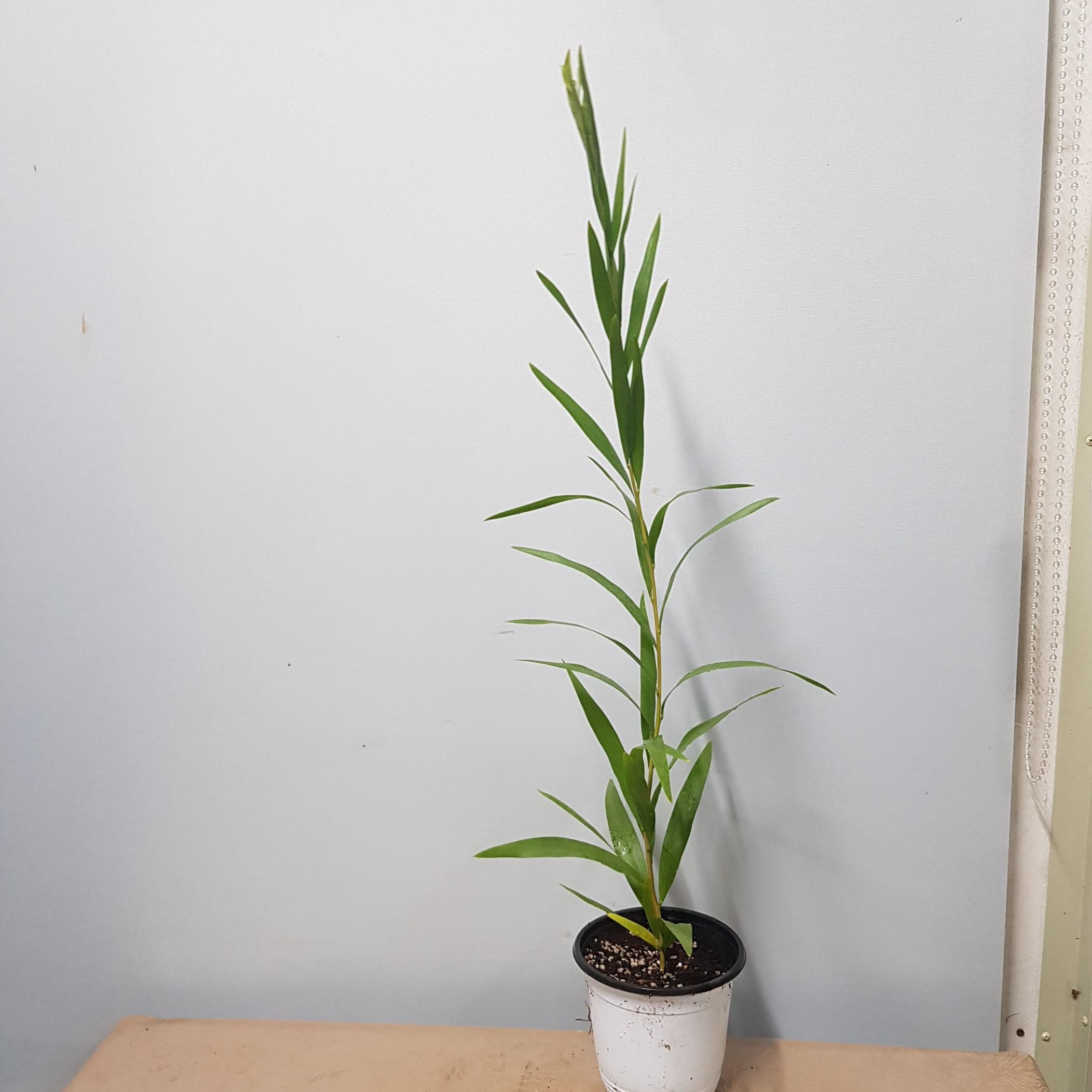 콩플라워 긴잎아카시아