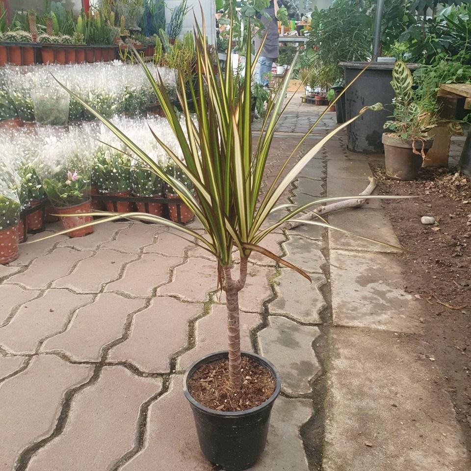 나인에잇틴 35~50cm 옐로우마지나타 119 관엽식물 야생화