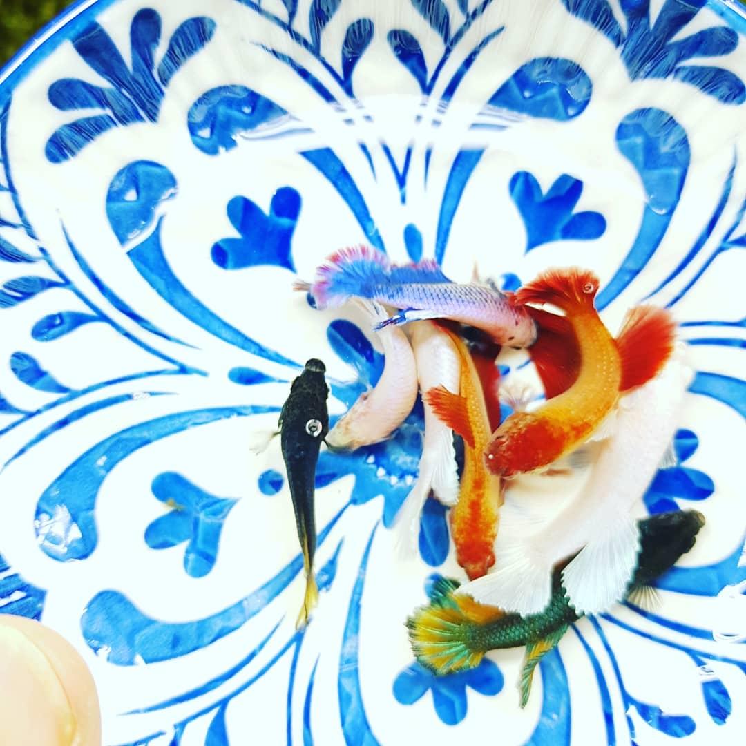 황금달수족관 하프문베타 암컷 색상랜덤 1마리 준성어~성어 사이즈 베타