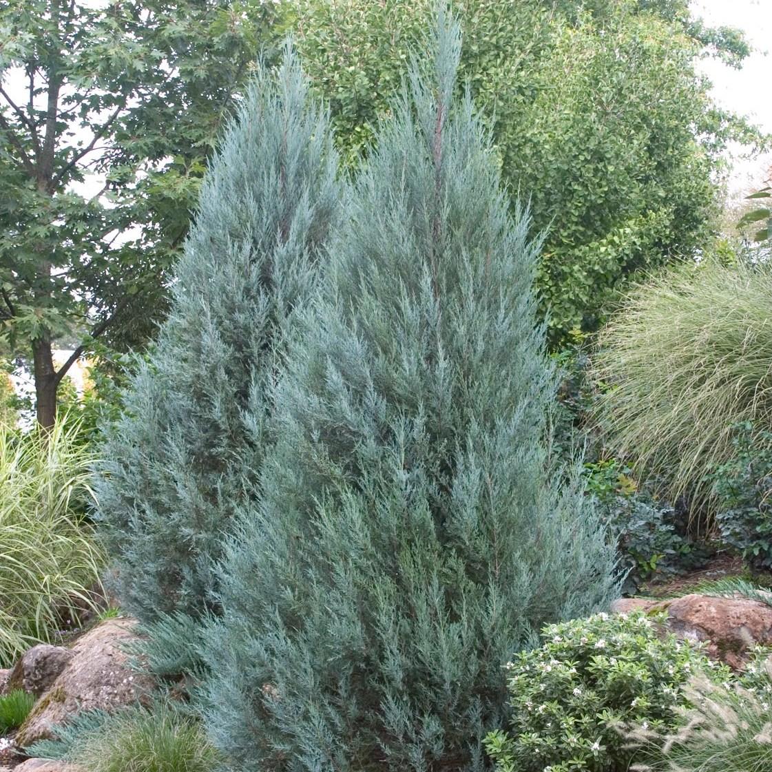 세종식물원 정원수 조경수 울타리 정원 인테리어 문그로우 주니프러스 (H0.5m)