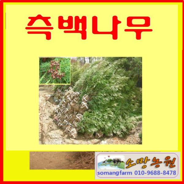 (D성모)측백나무 묘목 키150센치 1그루