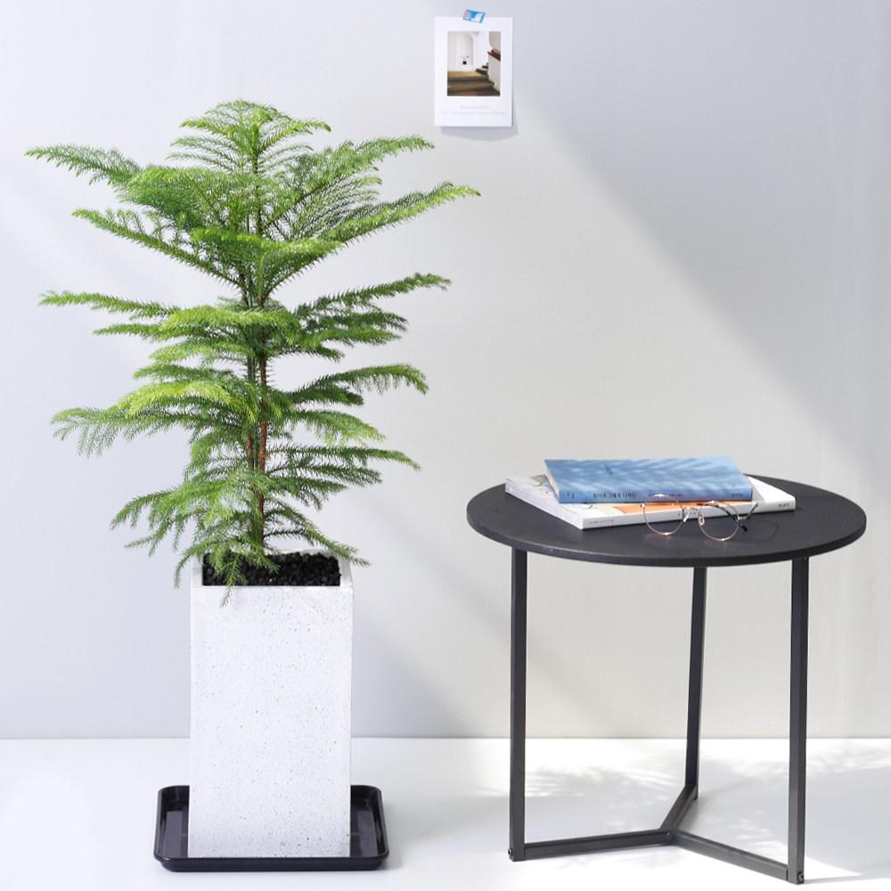 아침향기 공기정화식물 대형화분 FRP 화기 화분 - 아라우카리아, 1개, FRP 화이트 아라우카리아