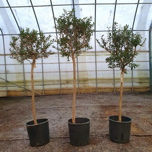 [과수] 자가수정 올리브(아르베키나) 중대형 묘목 3종, 1개, 줄기직경2cm