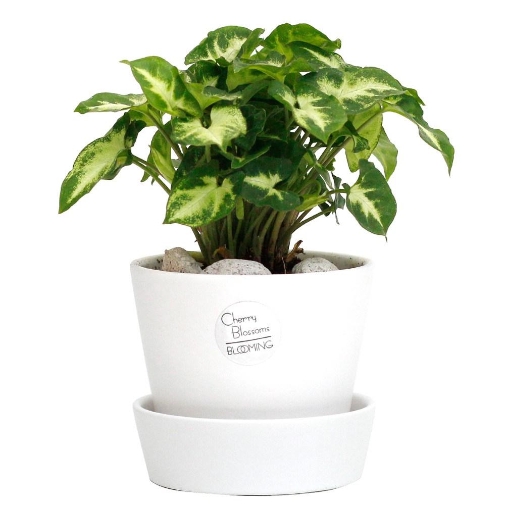 서포트화분 실내 인테리어 화이트 공기정화식물 소형, 24.싱고니움