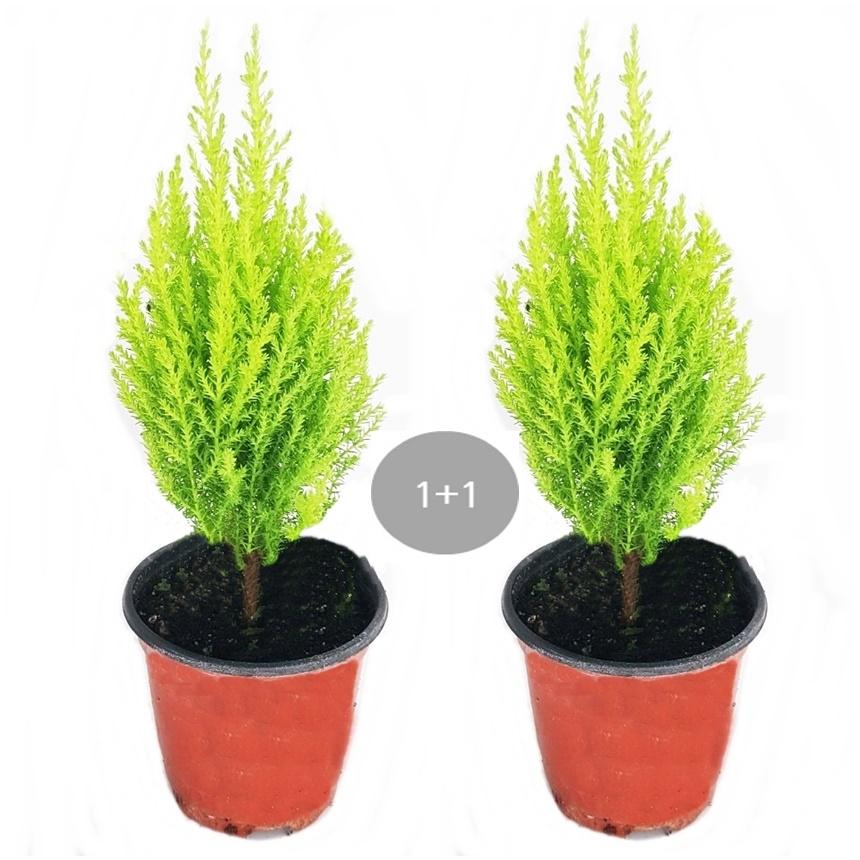 트리앤 율마 개운죽 행운목 공기정화식물 미세먼지제거식물, 04 .1+1 율마(소) 1개