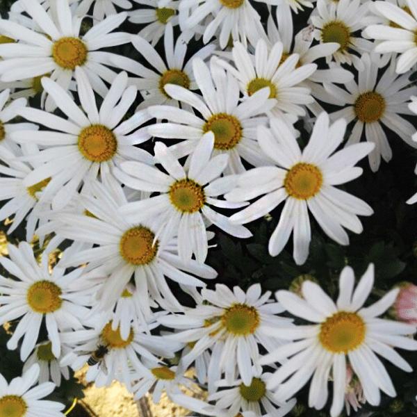 복남이네야생화 구절초-화이트 [7포트] (10cm포트 흰구절초 꽃차 가을 모종)