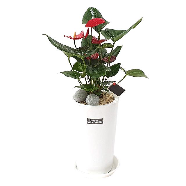 햇살농장 중대형 공기정화식물 인테리어 개업화분, 1개, 8.(중형)안시리움