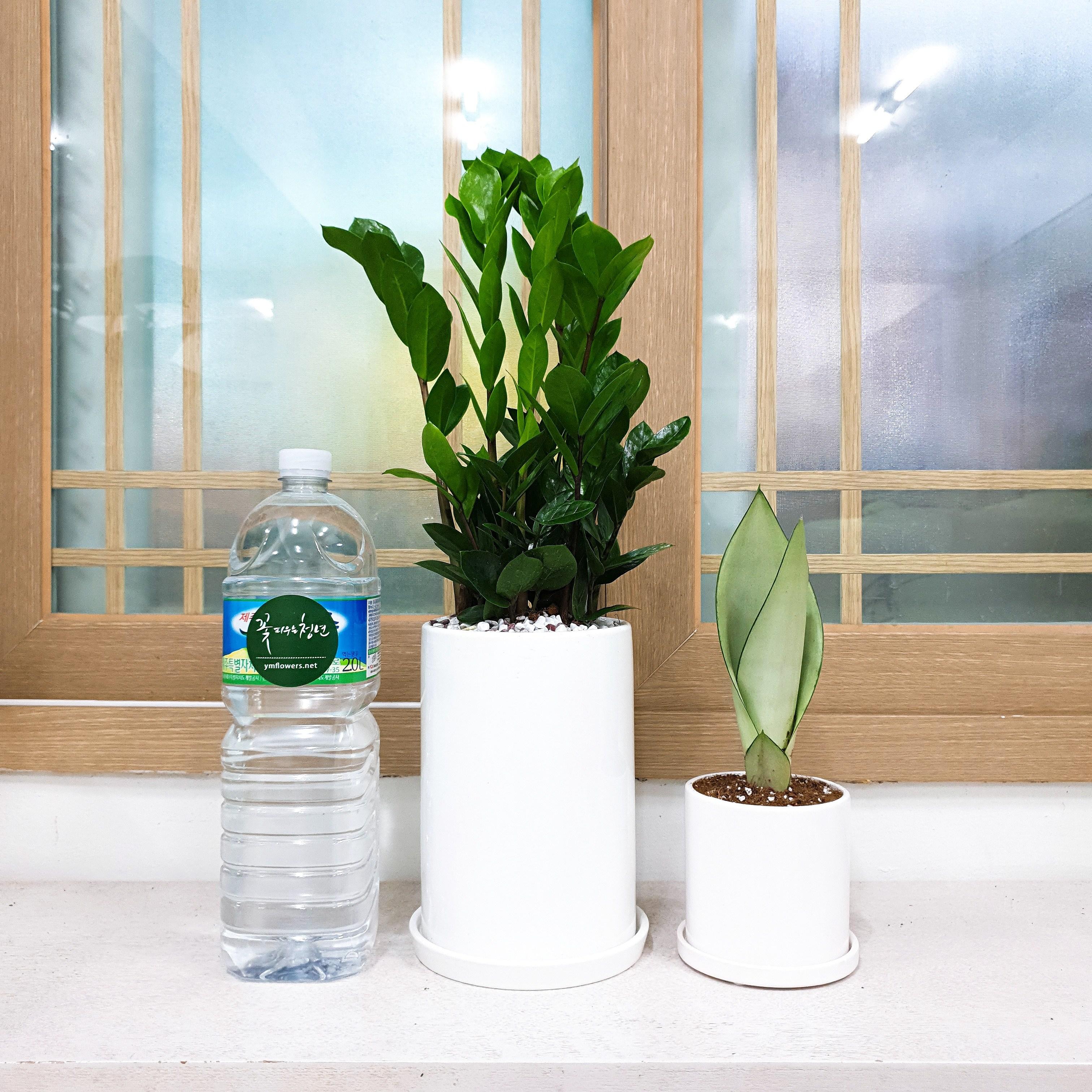 꽃피우는청년 실내공기정화식물 중형 화이트 화분(원형), 금전수