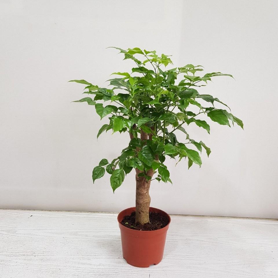 온누리농원 녹보수 대박나무 공기정화식물 반려식물