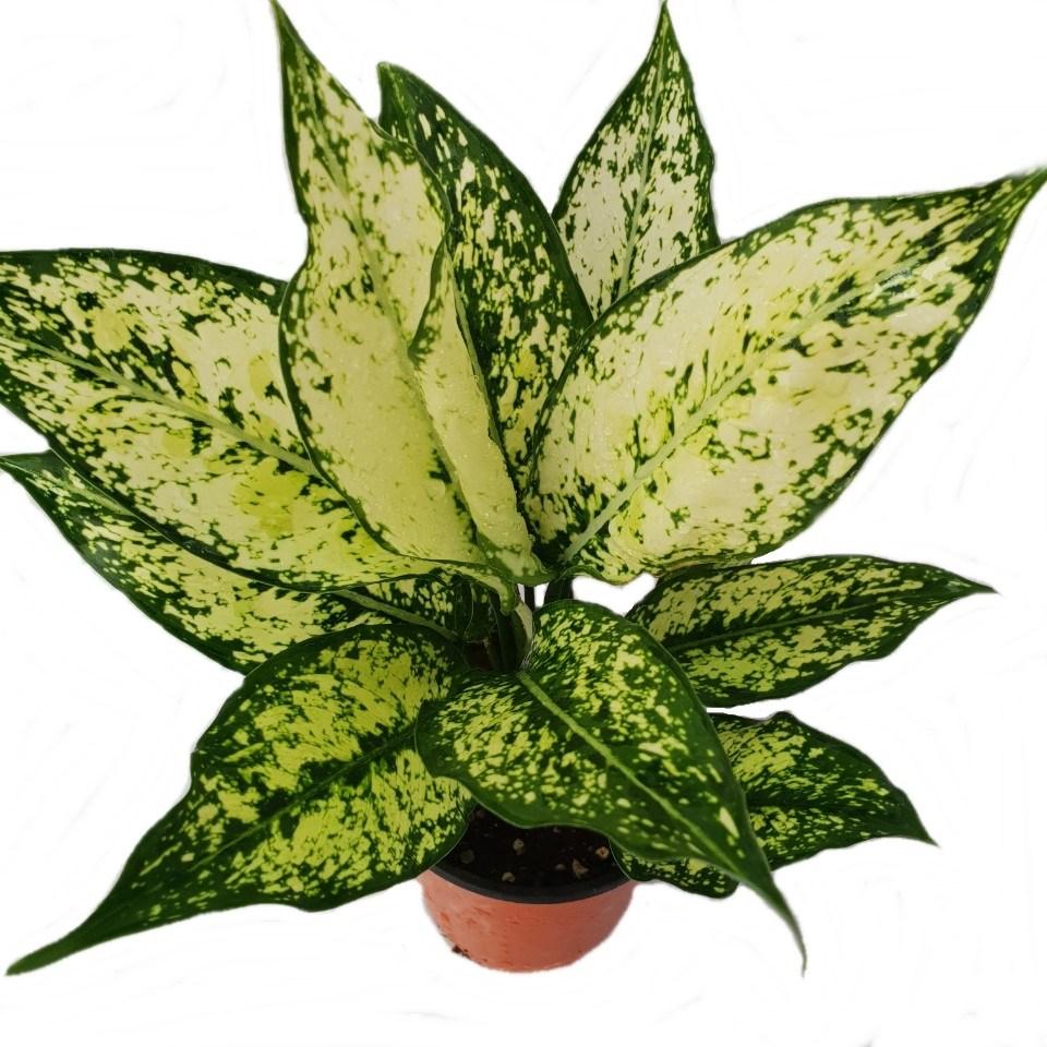 트리앤 잎이이쁜 엔젤모종 스노우사파이어모종 공기정화식물, 03.스노우사파이어44 1개