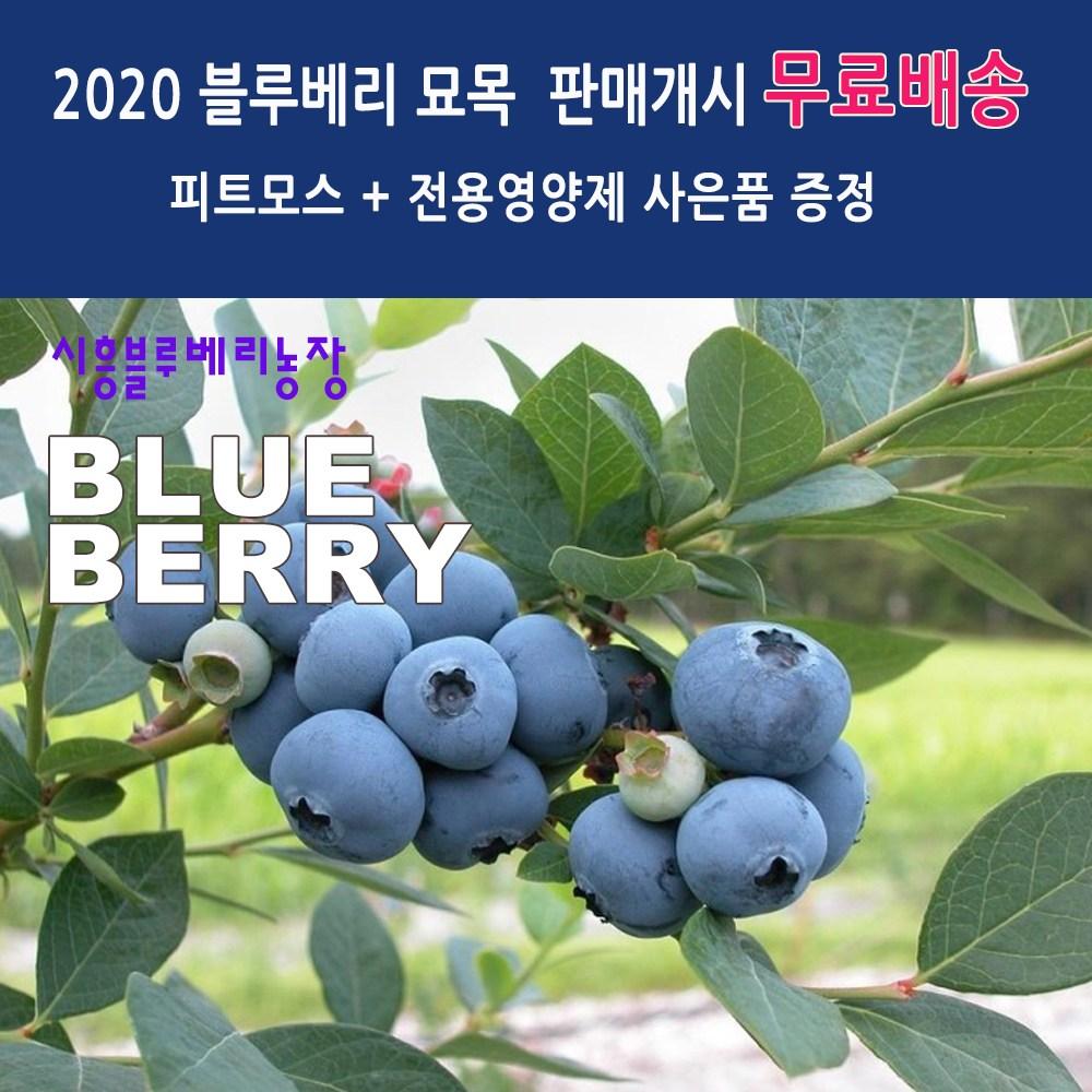 시흥블루베리 블루베리묘목 5년생 2주