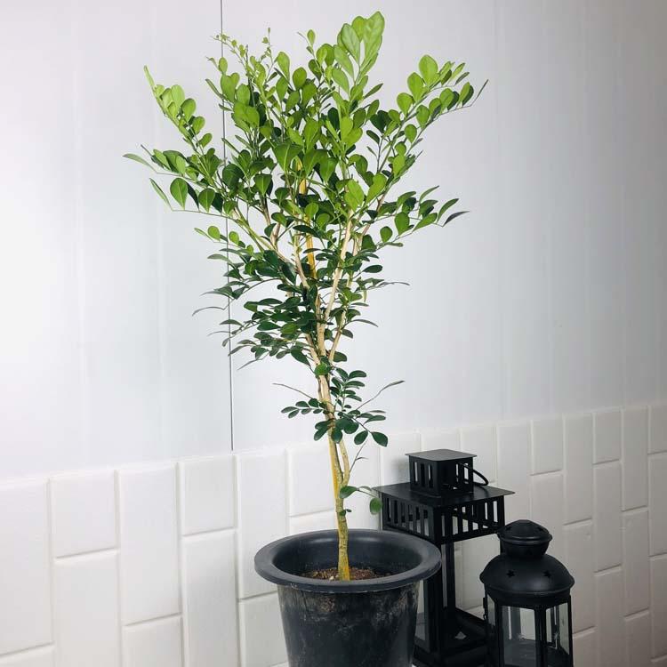 오렌지 자스민 대형 오렌지 쟈스민 대형 향기 좋은 식물 키우기 쉬운 식물 대형식물