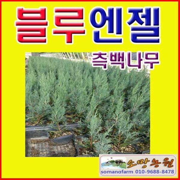(D성모)블루엔젤(측백나무) 삽목2년(포트) 3그루