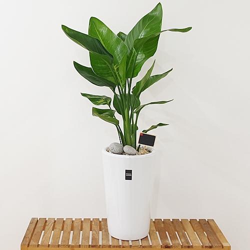 햇살농장 중대형 공기정화식물 인테리어 개업화분, 1개, 10.(중형)극락조