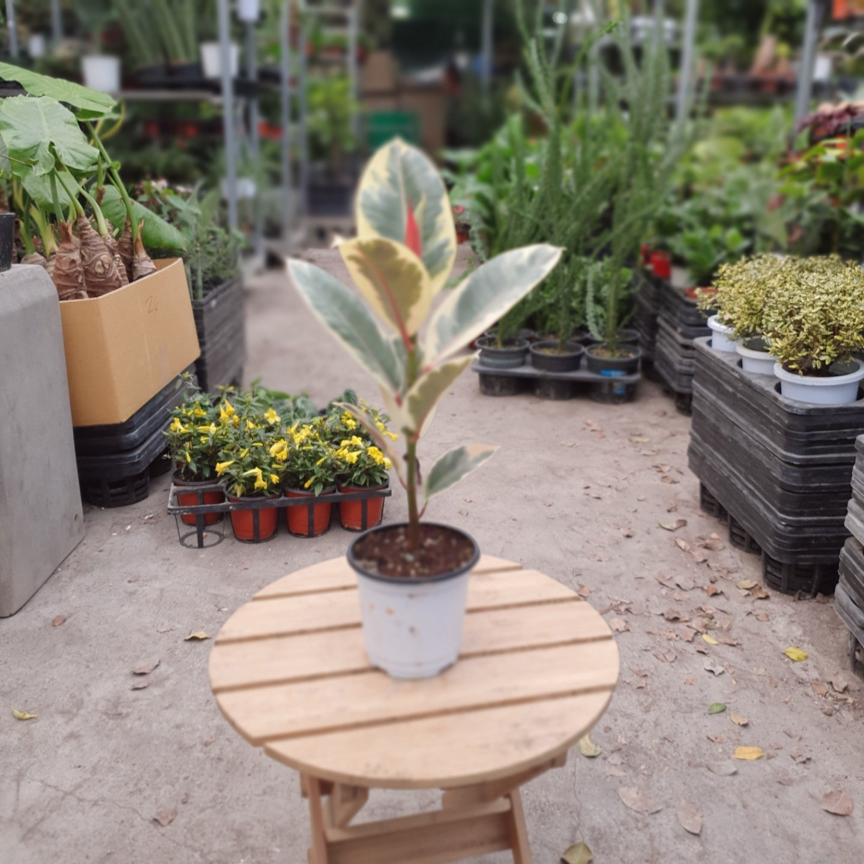 수채화고무나무 수입식물 39