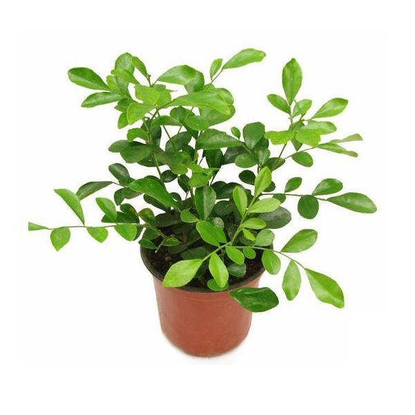 그린플랜트 공기정화식물 오렌지자스민 1+1
